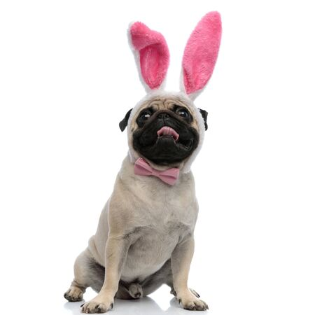 Lovely pug wearing pink bunny ears and bowtie while panting and sitting on white studio background Stock fotó