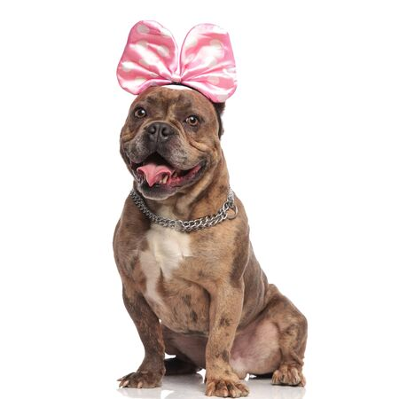 happy american bully wearing pink bow and silver collar, panting and sticking out tongue, sitting isolated on white background in studio