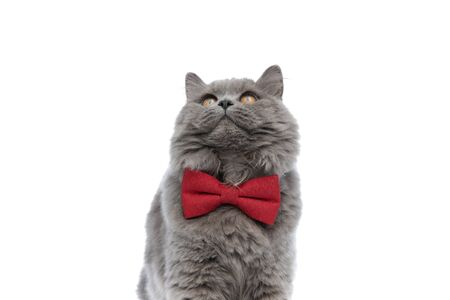 close up of a beautiful british longhair cat with red bow tie looking up curious against white studio background