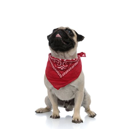 Dutiful pug curiously looking up while wearing red bandana and panting, sitting on white studio background Stock fotó