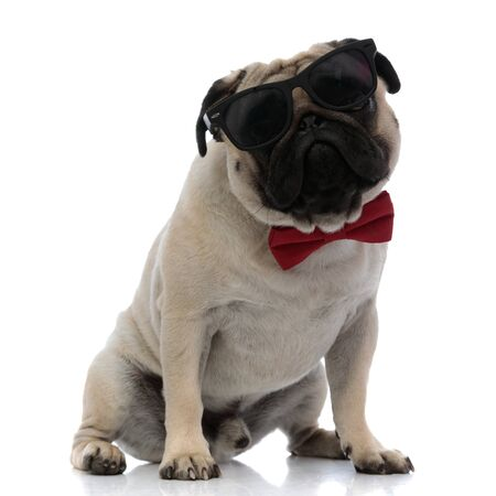 Brave pug wearing sunglasses and a red bowtie while sitting on white studio background