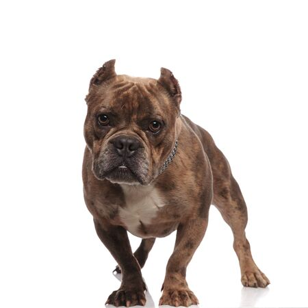 cute american bully wearing silver collar, standing isolated on white background in studio, full body