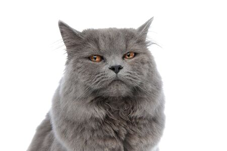 close up of a superb british longhair cat with gray fur sitting and looking at camera with sleepy eyes against white studio background