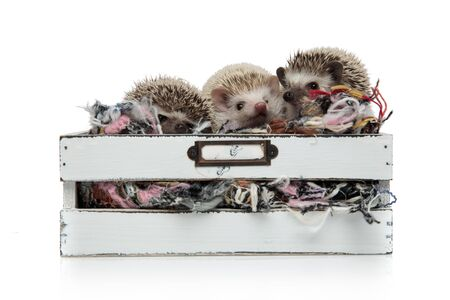 three adorable hedgehogs standing in a box with wool, looking curious to side, isolated on white background Banco de Imagens