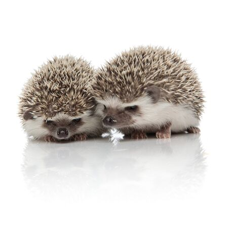 couple of two african hedgehogs standing side by side, cuddling each other, isolated on white background in studio