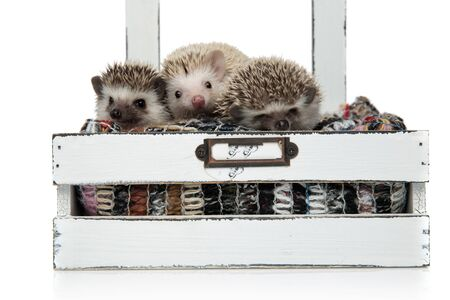 family of three hedgehogs sitting in a box with wool, feeling comfortable and sleeping, isolated on white background