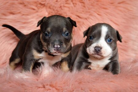 Two focused American bully cubs looking forward while standing and laying down on pink furry background Stock Photo
