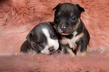 Two cute american bully puppies laying down and curiously looking forward on pink furry background