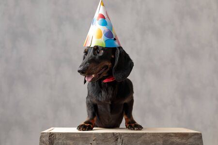 adorable teckel puppy dog with birthday hat sitting on wooden board and looking away with tongue out against gray studio background