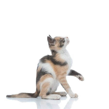 Side view of a curious cat looking up and waiting while stepping on white studio background Banque d'images