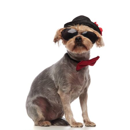 side view of cute yorkshire terrier wearing black hat, sunglasses and red bowtie, sitting isolated on white background in studio, full body Stockfoto