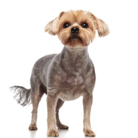 cute yorkshire terrier looking up and standing isolated on white background in studio, full body