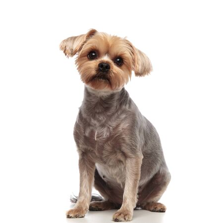 adorable yorkshire terrier looking up and sitting isolated on white background in studio, full body