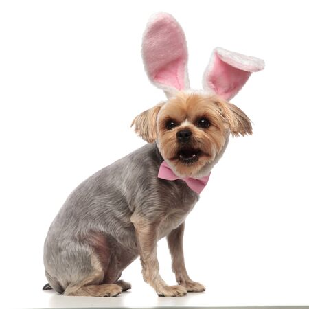 side view of adorable yorkshire terrier wearing rabbit ears and pink bow, panting and standing isolated on white background in studio, full body