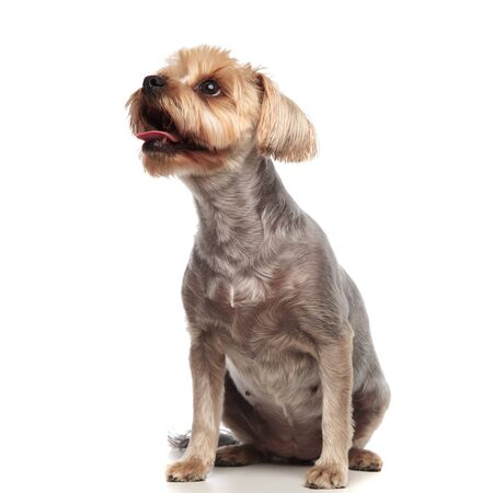 cute yorkshire terrier panting and sticking out tongue, looking to side, sitting isolated on white background in studio, full body