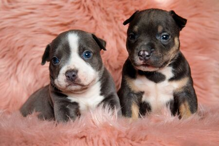 Adorable American bully puppies looking forward while laying down and sitting on pink furry background