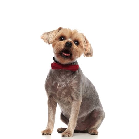 side view of adorable yorkshire terrier looking up and wearing red bowtie, sitting isolated on white background in studio, full body