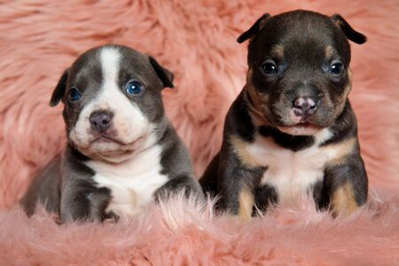 Cute American bully puppies looking away while laying down and sitting on pink furry background