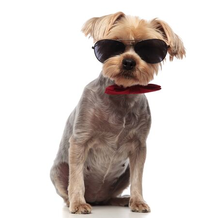 cute yorkshire terrier wearing sunglasses and red bowtie, sitting isolated on white background in studio,full body
