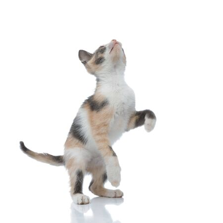 Playful cat looking up and playing while jumping on white studio background