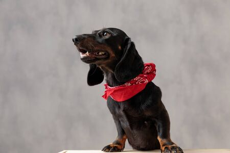 wonderful teckel puppy dog with black fur and red bandana sitting on wooden board and looking aside with open mouth and happy against gray studio background