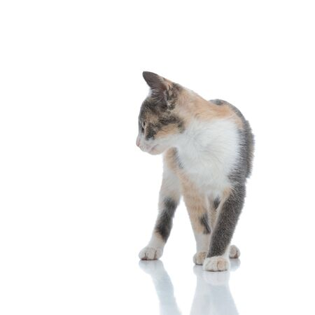 Curious cat looking to the side while stepping on white studio background Banque d'images