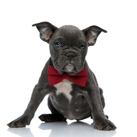 cute american bully wearing red bowtie, looking to side, sitting isolated on white background, full body