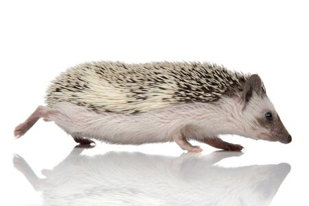 Side view of a frightened hedgehog running on white studio background