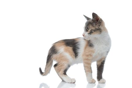 Side view of a curious domestic cat looking over its shoulder while standing on white studio background