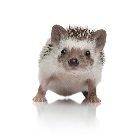 Lovely hedgehog from Africa waiting and standing on white studio background