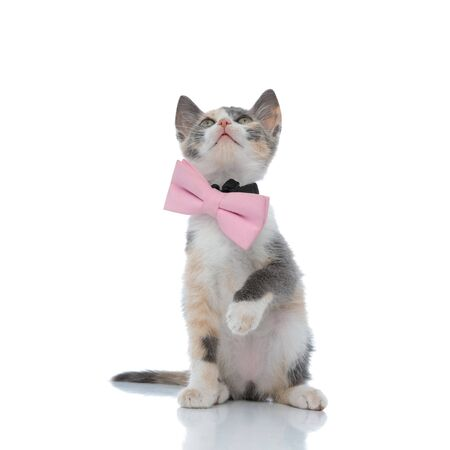 Eager cat curiously looking up while wearing a pink bowtie and sitting on white studio background