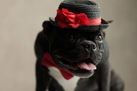 superb french bulldog wearing hat sitting and looking up with head bent on gray background Archivio Fotografico