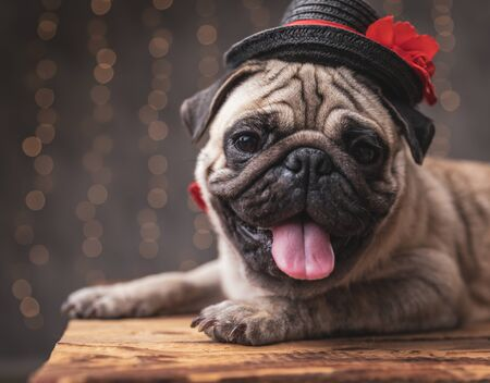 close up of a cute pug dog wearing black hat lying down with no occupation on gray background 스톡 콘텐츠