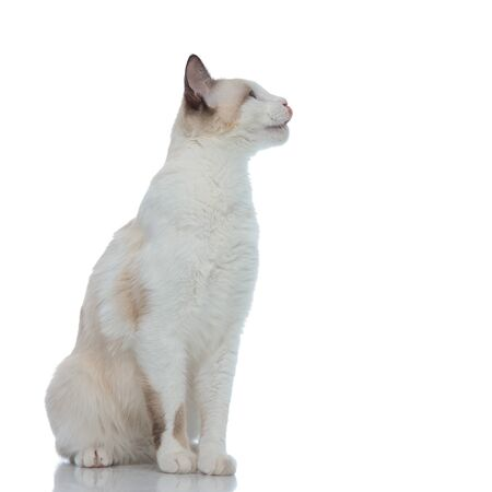 hungry metis cat with white fur sitting and licking nose on white background Banque d'images