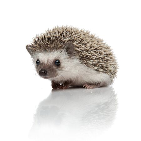 cute african hedgehog sitting isolated on white background, full body