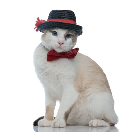 sweet metis cat with black hat sitting and looking at camera with no occupation on white background