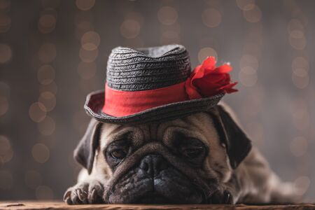 sleepy pug dog wearing black hat lying down and looking down on gray background 스톡 콘텐츠