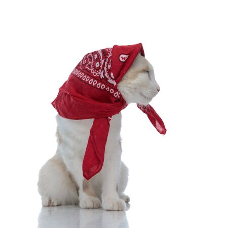 wonderful metis cat with red bandana sitting and looking aside on white background