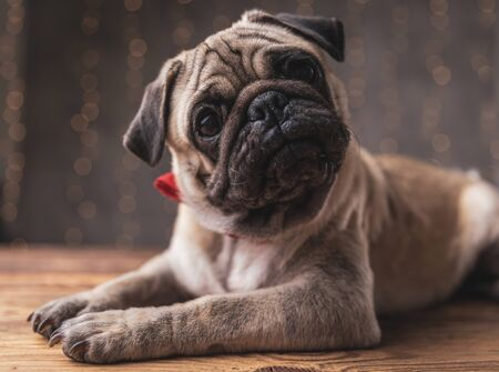 confused pug dog wearing red bowtie lying down and staring at camera on gray background