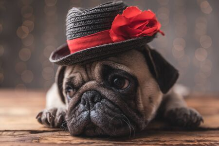 sad pug dog wearing black hat lying down and looking aside on gray background