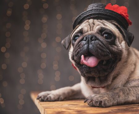 close up of a happy pug dog wearing black hat lying down and sticking out his tongue on gray background Imagens