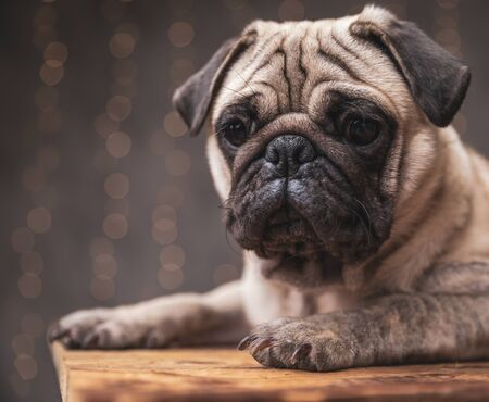 close up of a superb pug dog with brown fur lying down and staring at camera on gray background 스톡 콘텐츠