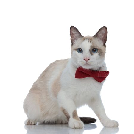 elegant metis cat with red bowtie sitting and looking away on white background Stock Photo