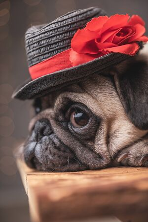 close up of an adorable pug dog wearing black hat lying down in side view on gray background