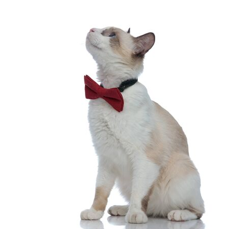 side view of a beautiful metis cat with red bowtie sitting and looking up on white background Stock Photo