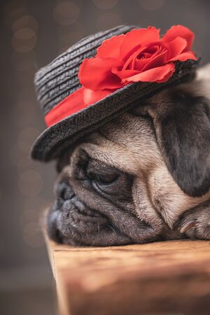 close up of a sleepy pug dog wearing black hat lying down in side view on gray background