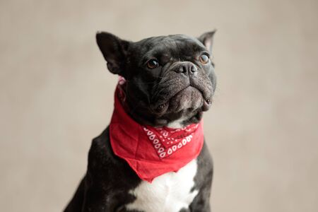 grumpy french bulldog wearing red bandana sitting and looking away on gray background Stock Photo