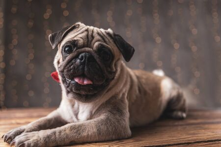 adorable pug dog wearing red bowtie lying down and staring at camera on gray background