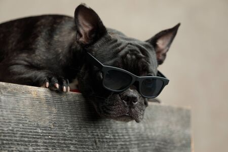 humble french bulldog wearing sunglasses lying down and looking ahead on gray background