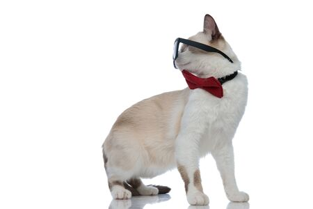 badass metis cat with sunglasses standing and looking back over shoulder on white background